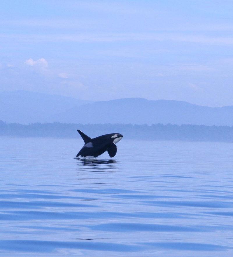 orca-san-juan-island