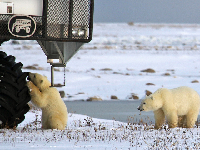 churchill-manitoba-oso-polar