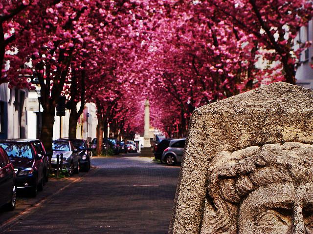 cerezos-bonn-alemania-primavera