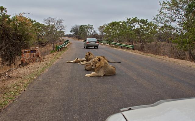 kruger-leones