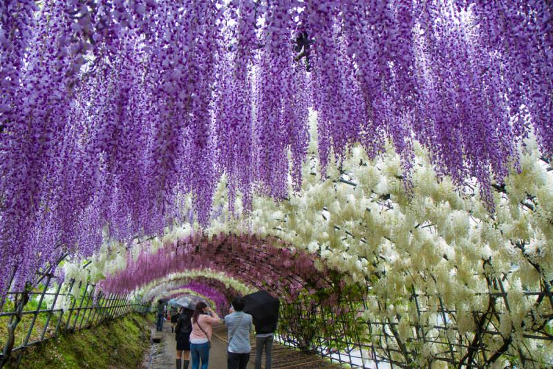 El t nel de flores m s bonito del mundo jard n for Glicina planta