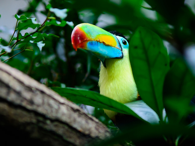 tucan-pico-iris-kill-billed
