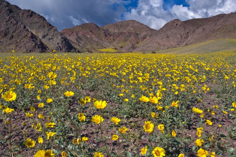 Death-Valley-flower