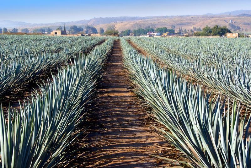 tequila-jalisco (3)